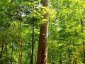 露水河-红松王露水河国家森林公园省级重点保护古树